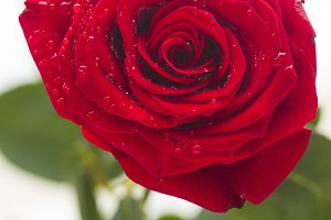 Red rose with water drops on a white background