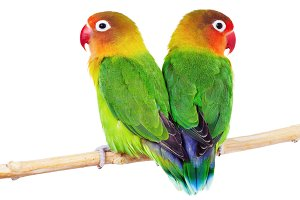 Pair of lovebirds