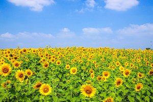 Sunflowers blossom