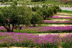olive groves with flowers