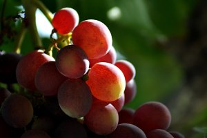 ripening red grapes
