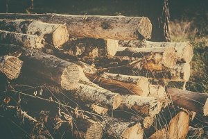 Wood Logs in the Forest (Vintage)