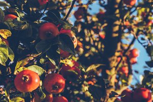 Vintage Apple Tree in Summer Light