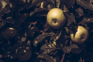 Vintage Apple Tree in Summer Light
