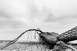 Fallen tree on the beach after storm