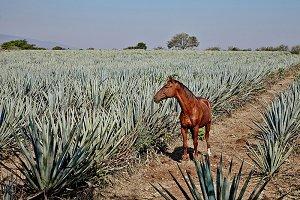 landscape tequila