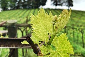 Grape Vine Early Bud