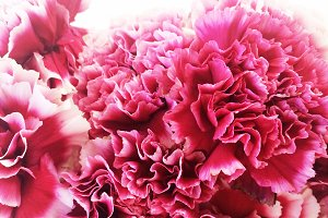 Close Up View of Pink Carnations