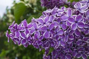 Bunch of purple lilacs