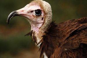 Ugly vulture