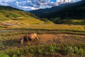 mu cang chai District with buffalo
