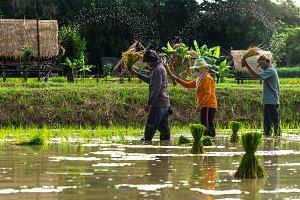 farmers rice planting