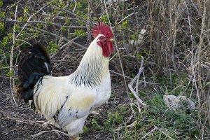 Cock in the garden