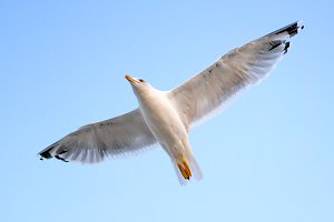 Young seagull flying in blue sky