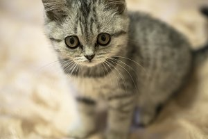 Little grey scottish cat