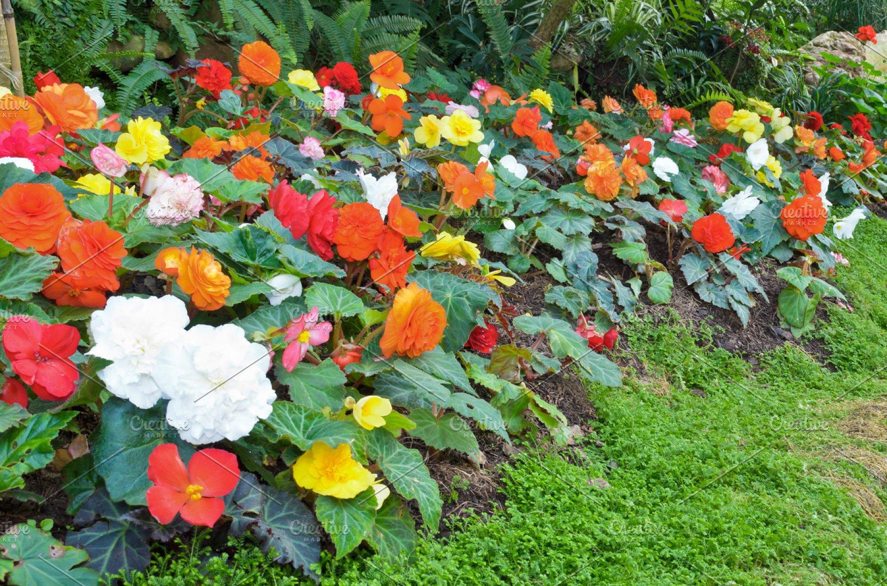 Begonia Garden High Quality Nature Stock Photos Creative Market