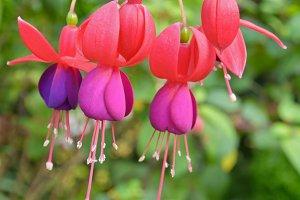 Lady's Eardrops flowers
