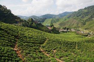Malaysian Highland Tea Farms 2