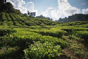 Malaysian Highland Tea Farms 3