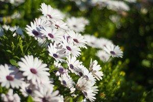 Cheerful white African daisy