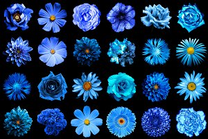 24 blue flowers isolated on black