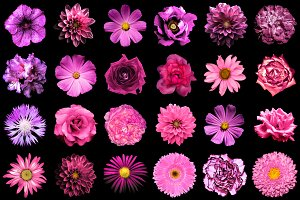 24 pink and purple flowers isolated