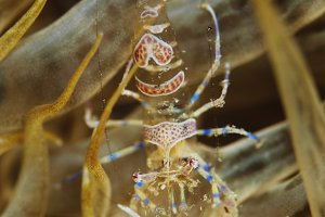 Comensal shrimp (Periclimenes amethysteus)