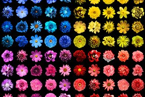 Pack of 80 flowers isolated on black