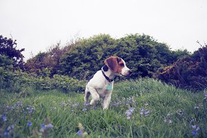 Beagle Puppy in Meadow