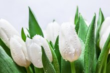 Bouquet of fresh white tulip flowers