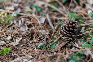 Pine cone in the woods