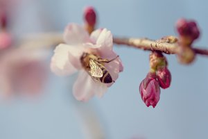 Bumblebee on a cherry blossom