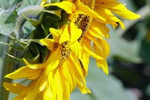 Yellow sunflowers close-up.