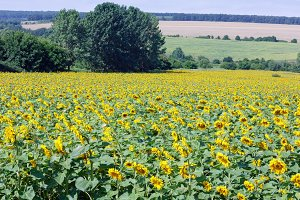Sunflowers field summer scenery.