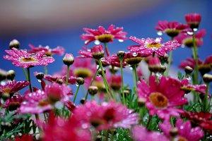 raindrops on daisies