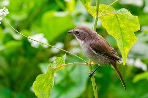 Grey Bushchat bird
