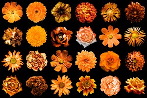 24 orange flowers isolated on black