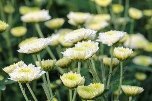 White Chrysanthemum flowers