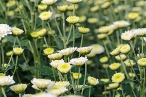 White Chrysanthemum flowers