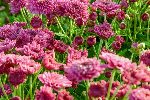 Pink Chrysanthemum flowers