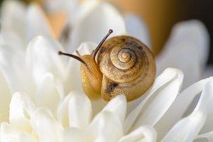 Snail on white Chrysanthemum flower
