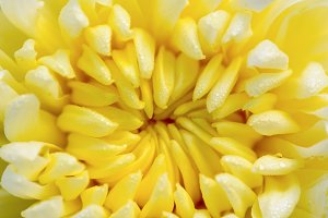 Close up Chrysanthemum flowers