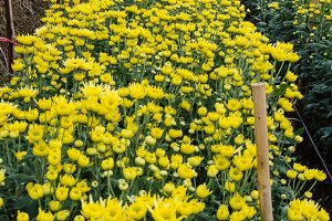 Chrysanthemum flowers farm