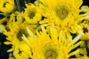 Yellow Chrysanthemum flowers