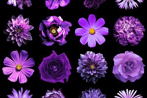 16 violet flowers isolated