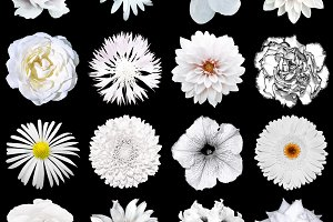 Pack of 16 white flowers isolated
