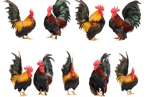 Set of chicken bantam isolated