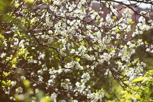 bloom flowers on plum tree
