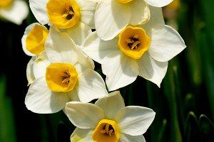 Wild White Daffodils
