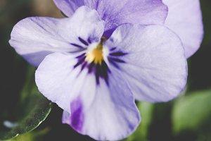 Violet flower closeup